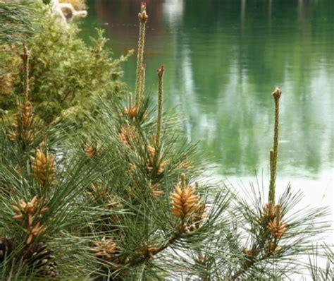 fiori di bach pine fiori di bach pine pollicegreen