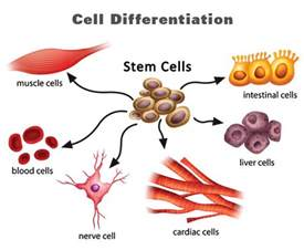 what is cell differentiation