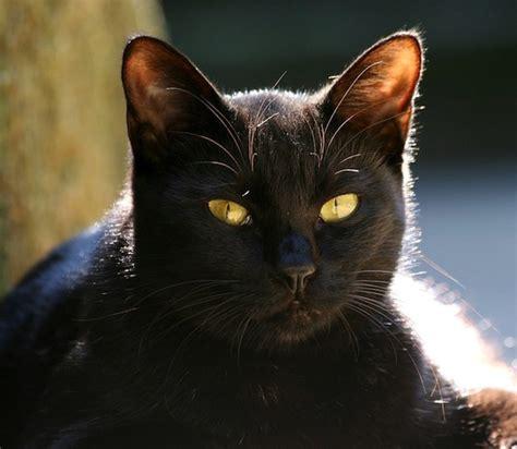 imagenes en negro de gatos el gato negro el mini zoo
