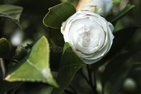 sierkers met witte bloemen free download japanse camelia witte bloem op een struik