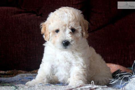 mini poodle puppy poodle miniature puppy for sale near lancaster pennsylvania 170bad2a 7171