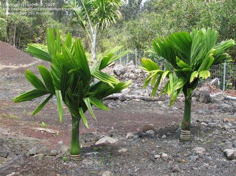 plantfiles pictures dwarf betel nut palm dwarf areca