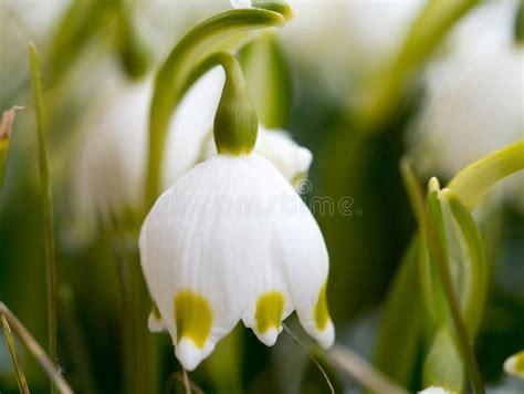 fiore della rinascita bucaneve con il fiore rinascita primo fiore della