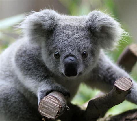 koala hängematte il koala e i pericoli per il suo popolo