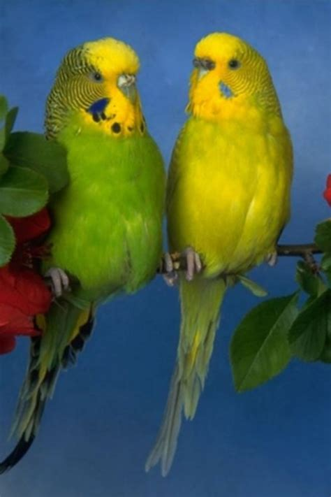 free download images of love birds amazing wallpapers love birds iphone hd wallpaper download wallpapers litle