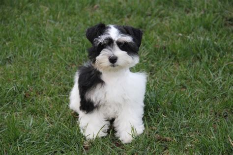 Schnauzer Puppies For Sale In Nc Breeds Picture