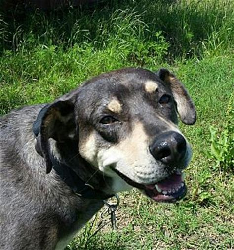 catahoula rottweiler mix alstyne tx rottweiler catahoula leopard mix meet woodsie a for adoption