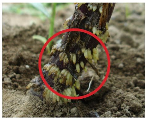 b d lilies garden blog lily bulbs not buried deep enough what to look for