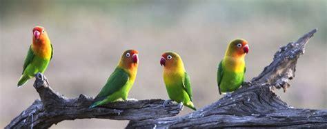 Krodong Lovebird Bukan Murai loverbird bakal makin moncer di tahun 2013 klub burung