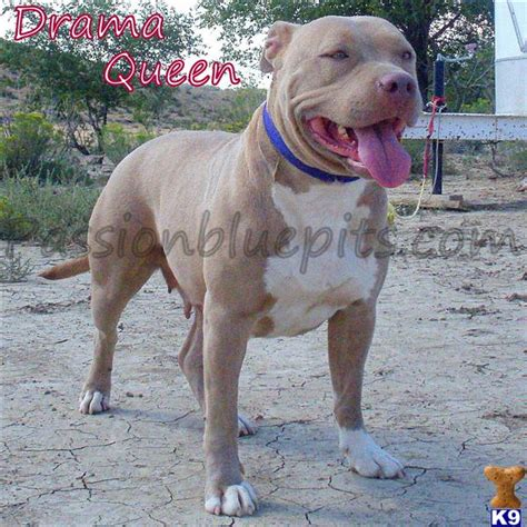 pitbull puppies for sale in colorado springs american pit bull puppies for sale in colorado