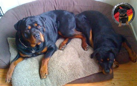 rottweiler rescue pa the universe of animals page 4271