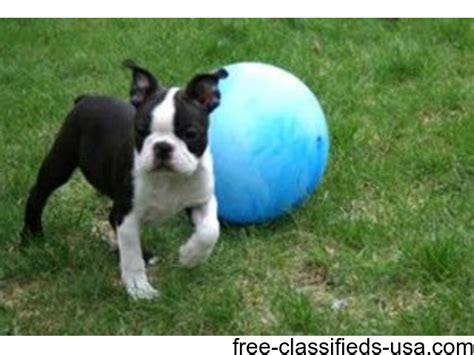 boston terrier puppies louisiana awesome boston terrier puppies available animals bernice louisiana