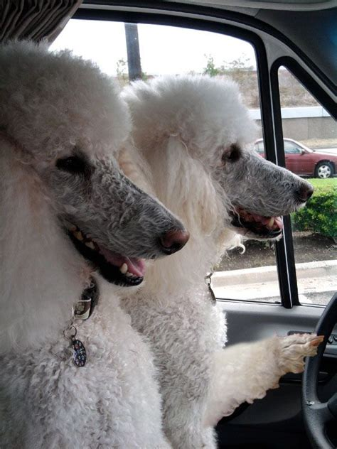 standard poodles with beards 17 best images about everything poodle on pinterest