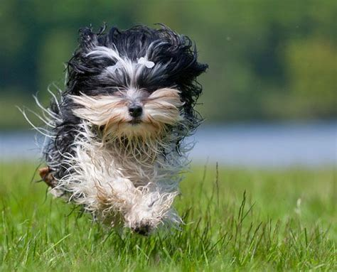 can havanese be left alone hypoallergenic breeds now to