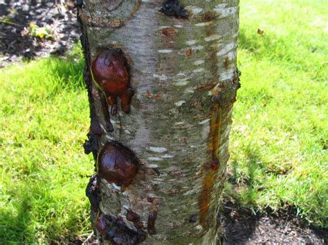 cherry tree fungus tree photos album 4 photographs of trees pruning cutting bark trunks branches