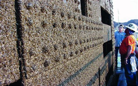 how to remove zebra mussels from a boat mcphee faces risk of invasive species