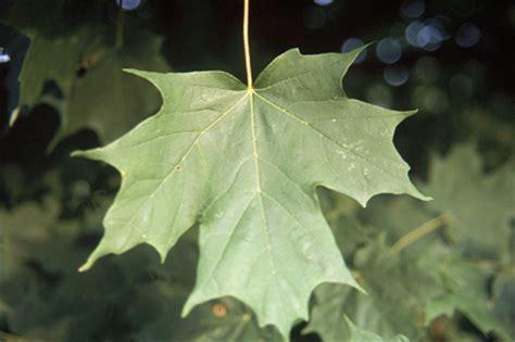 trees of ohio: sugar maple