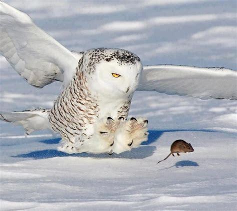 run for ur life mythology pinterest snowy owl and owl