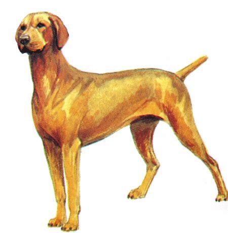 hungarian setter dog hungarian vizsla dog blog with dr caroline