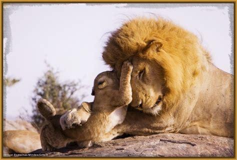 imagenes leones tiernas imagenes de parejas de leones enamorados archivos