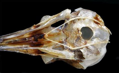 hummingbird internal anatomy physiology