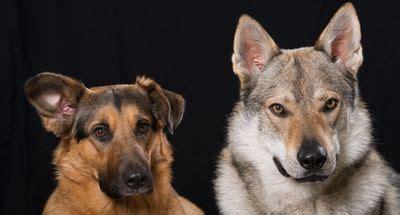 hund kastrieren wann wie oft wird eine h 252 ndin l 228 ufig