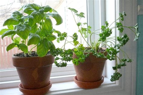 windowsill herb garden 7 foods you can easily grow indoors this winter