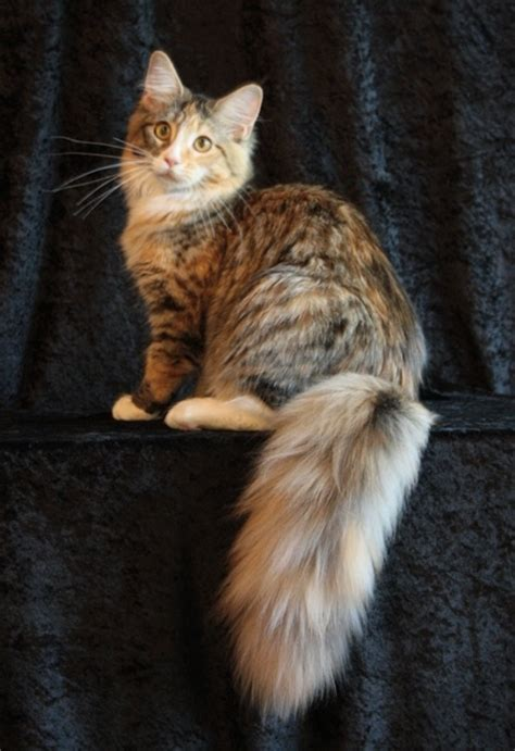 maine coon colors appearance and coat colors in maine coons many