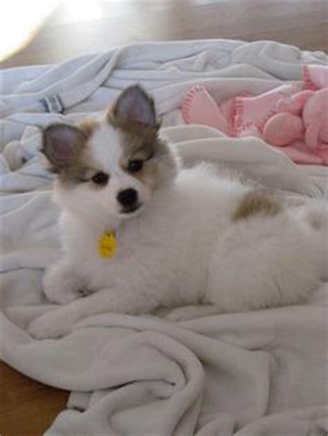 american eskimo pomeranian pomeranian american eskimo mix pup just like the home decor