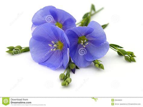 fiori di lino fiori di lino immagine stock immagine di bianco nave