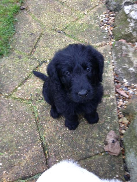 f1 labradoodle puppies for sale f1 labradoodle puppies ready this weekend ipswich suffolk pets4homes