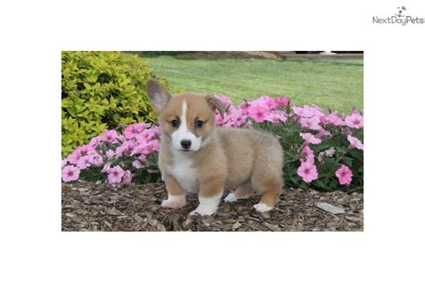 corgi puppies near me corgi pembroke puppy for sale near lancaster pennsylvania 5eb64a54 5a01