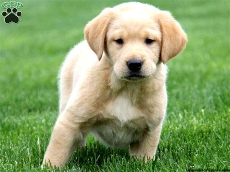 golden retriever labrador mix puppies golden retriever and lab mix puppies photo happy heaven