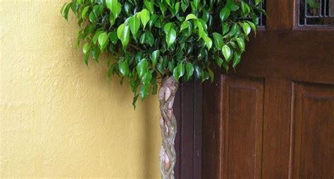 alberi da appartamento alberi da appartamento piante appartamento