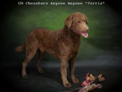 chesapeake bay retriever puppies for sale nc chesapeake bay retriever puppies in