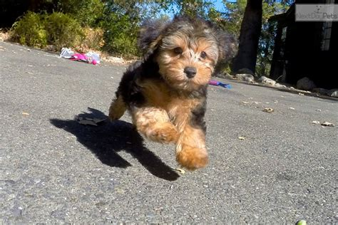 yorkie poo puppies bay area morocco yorkiepoo yorkie poo puppy for sale near san francisco bay area california