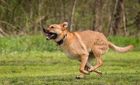 American Dingo Running | American Dingo running all out ...