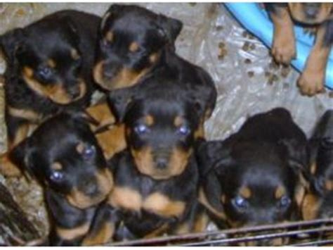 rottweiler puppies for sale in bc information about rottweiler breeds