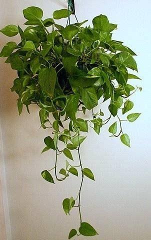 grow vines indoors ehow