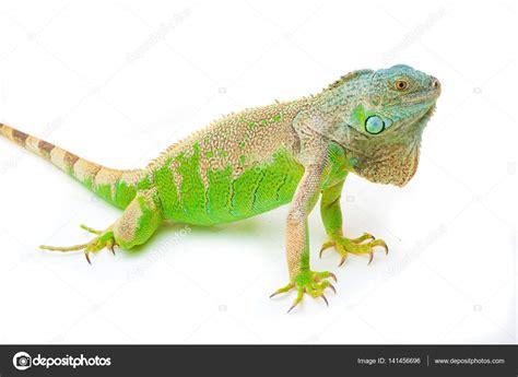 imágenes de iguanas verdes una iguana verde foto de stock 169 bayshevpavel gmail com