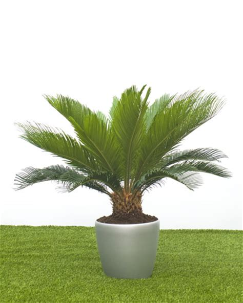 buy house plants uk buy house plants uk 28 images howea forsteriana house plant in 21cm pot kentia