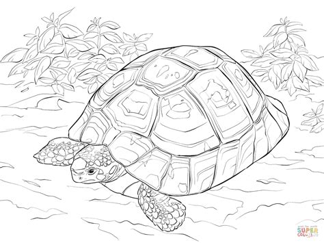 desert turtle coloring page 1000 images about tortoise on pinterest
