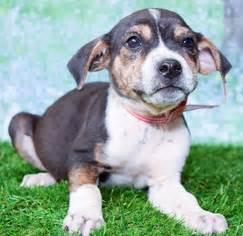 colorado puppy rescue co view ad beagle for adoption colorado denver usa