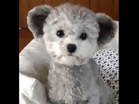 dogs that look like teddy bears what is the name of the that looks like a teddy