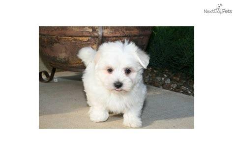 coton de tulear puppies price coton de tulear price range breeds picture