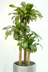 Indoor Low Light Plants by Gallery For Gt Indoor Tree Low Light
