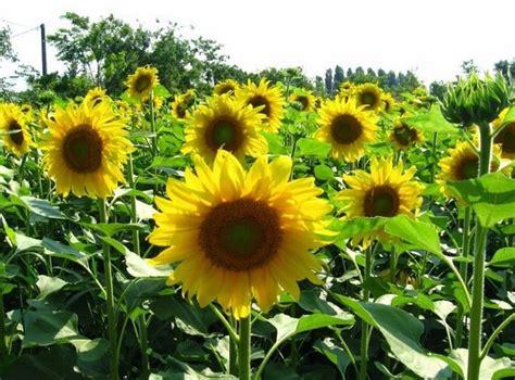 bunga matahari daftar tanaman hias