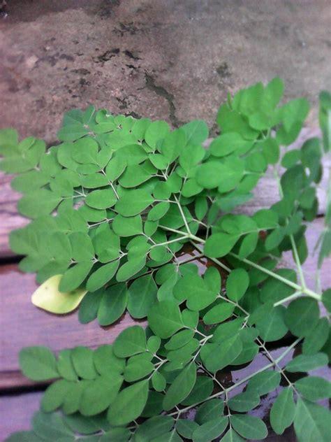 gambar daun kelor terlengkap kumpulan gambar