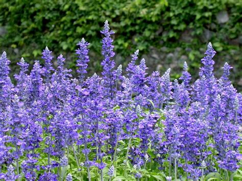 flowers for flower lovers salvia flowers pictures