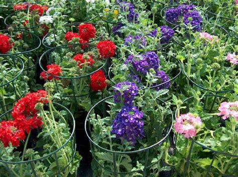 produce fiori in spighe piante da vaso verbena verbena bonariensis verbena